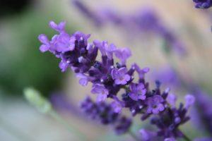 lavender-1389188