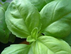 basil-leaves-1196108